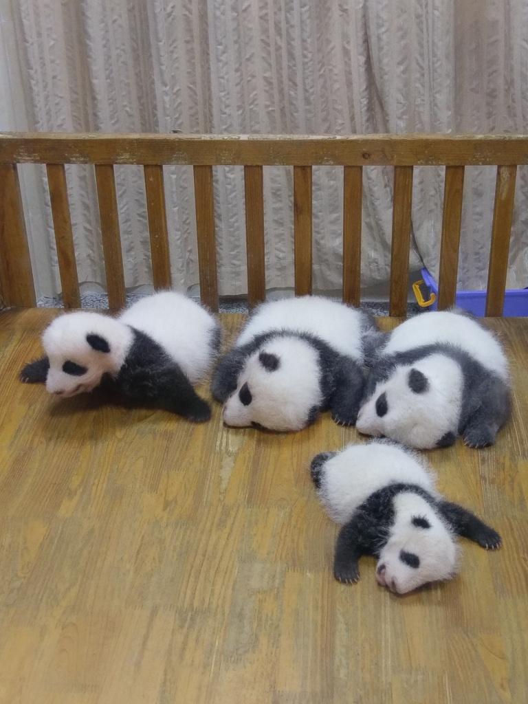 panadas giantpanda pandacubs pandababy babypandacute cutepanda
