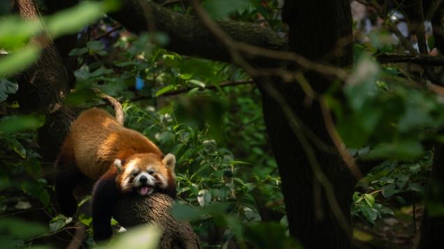 redpanda sleepypanda pandabear pandainatree cutepanda